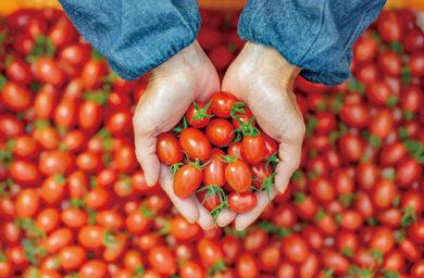 はしもと農園のトマト